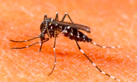 Den vitknäade myggan alla gravida i Brasilien är livrädda för
